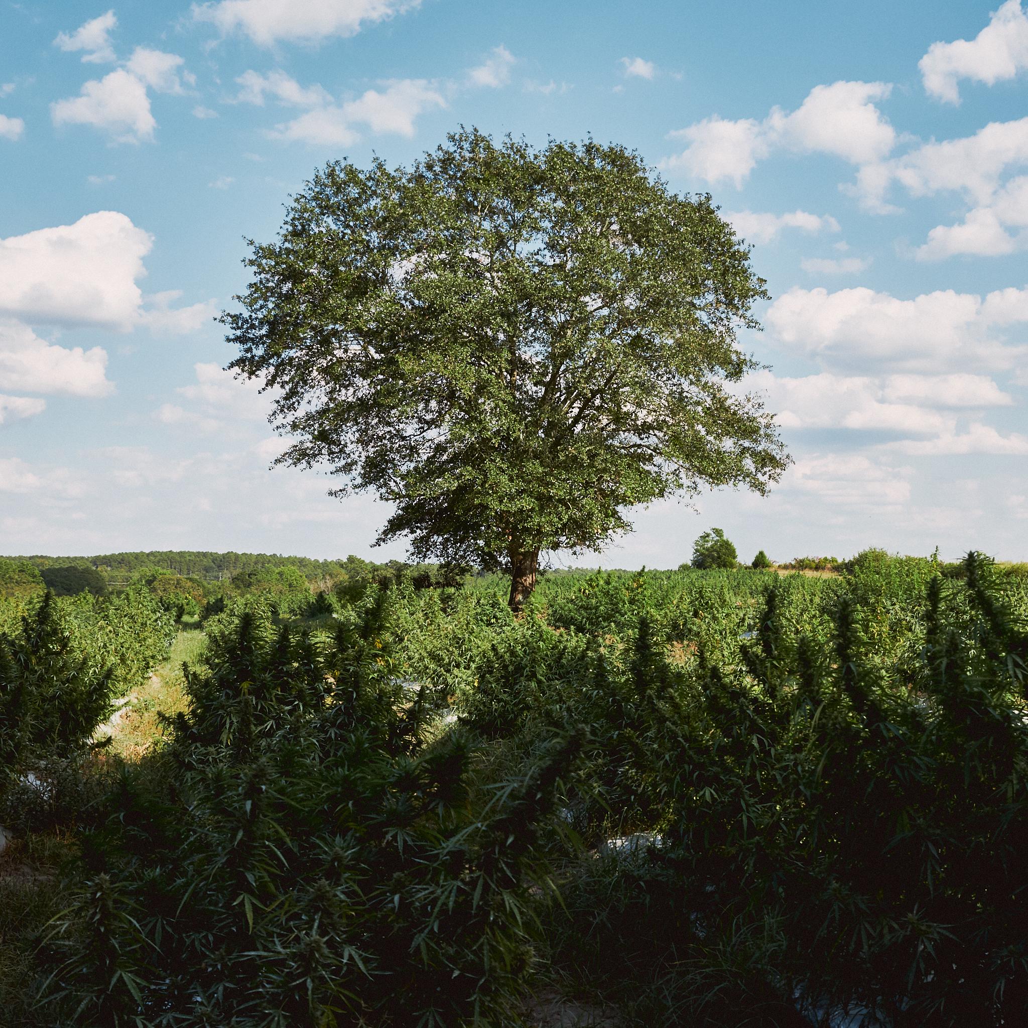 Hemp Ridge Tree